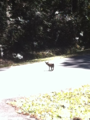 St. Mangy Fox on patrol for sunshine and back scratching asphalt.